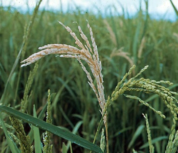 Mengatasi Beluk Pada Tanaman Padi Solusi Pertanian
